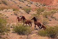 Small herd of Wild Horses roaming the desert in southern Nevada