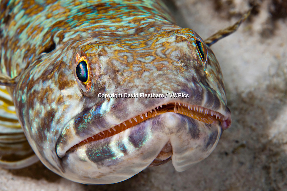 A close look at a lizardfish or sand diver, Synodus intermedius, Bonaire,  the Netherlands Antilles, Caribbean.