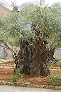 Israel, Jerusalem, Old Olive trees in the garden of Gethsemane, in the grounds of the Basilica of the Agony - Church of all Nations. There are 8 ancient olive trees in the garden held by tradition to have witnessed Jesus? prayer and suffering