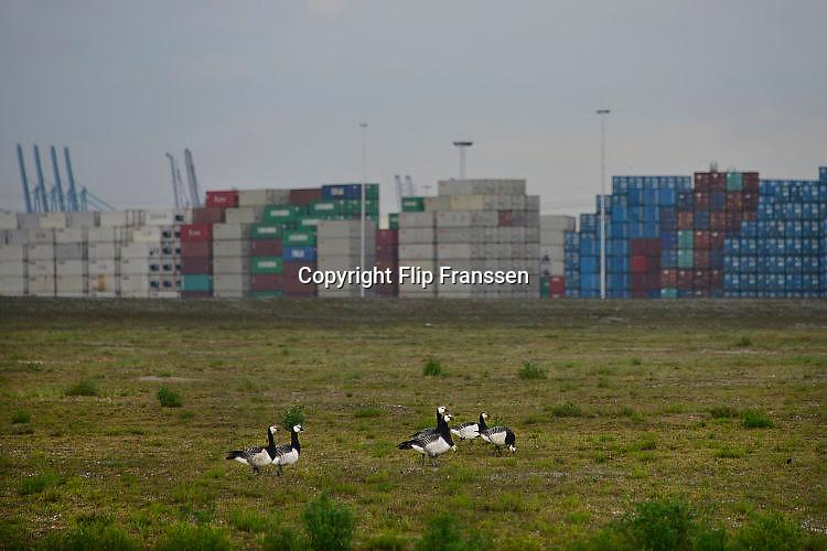 Nederland, the Netherlands, Rotterdam, 12-5-2017Containeroverslag in de rotterdamse haven op de 2e maasvlakte, bij APM terminal. Ganzen op een open bedrijfsterrein. Foto: Flip Franssen