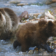 Grizzly bear cubs in a river in southwest Montana. Captive Animal