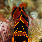 Philinopsis sp. nudibranch in Lembeh Straits, Indonesia.