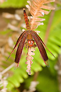 A male grasshawk dragonfly (Neurothemis fluctuans) on a fern frond. Endau-Rompin National Park, Malaysia.