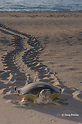 Australian flatback sea turtle, Natator depressus, female climbs beach in order to nest, leaving tractor-like tracks behind her, Crab Island, off Cape York Peninsula, Torres Strait, Queensland, Australia