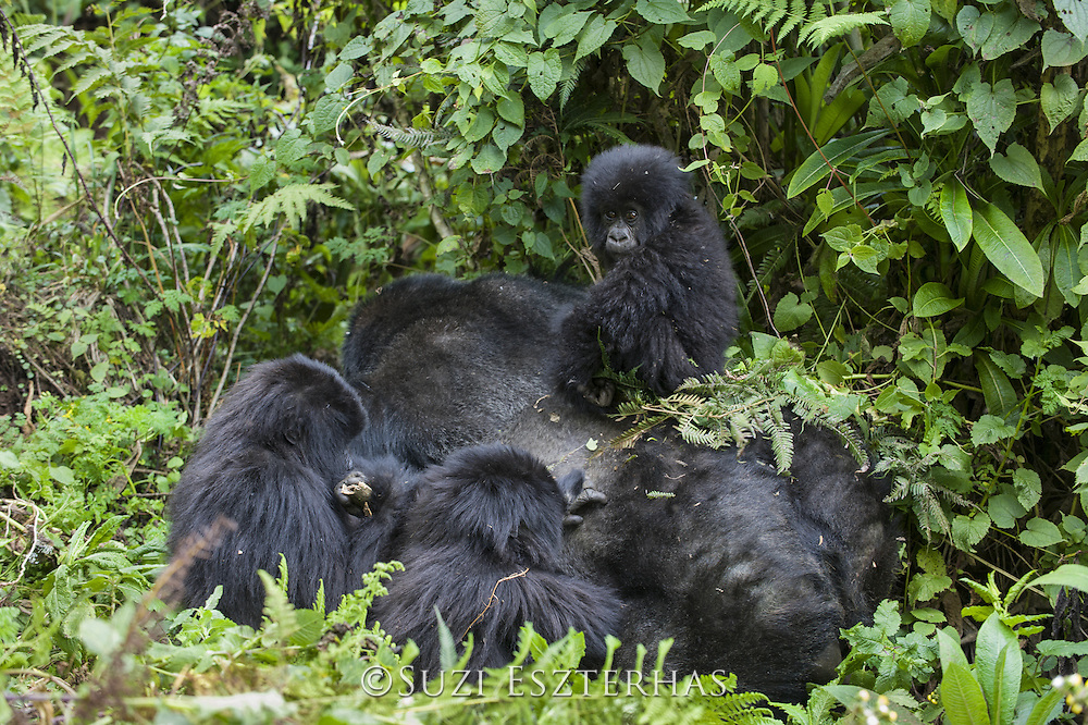 Mountain Gorilla<br /> Gorilla gorilla beringei<br /> Two year old baby playing on silverback's back with juveniles nearby<br /> Parc National des Volcans, Rwanda<br /> *Endangered species