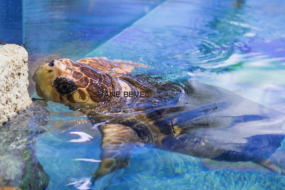 3/2/17 10:57:08 AM -- The ribbon cutting and grand opening of the new sea turtle exhibit at the Oklahoma Aquarium in Jenk, Okla. <br /> <br /> Photo by Shane Bevel