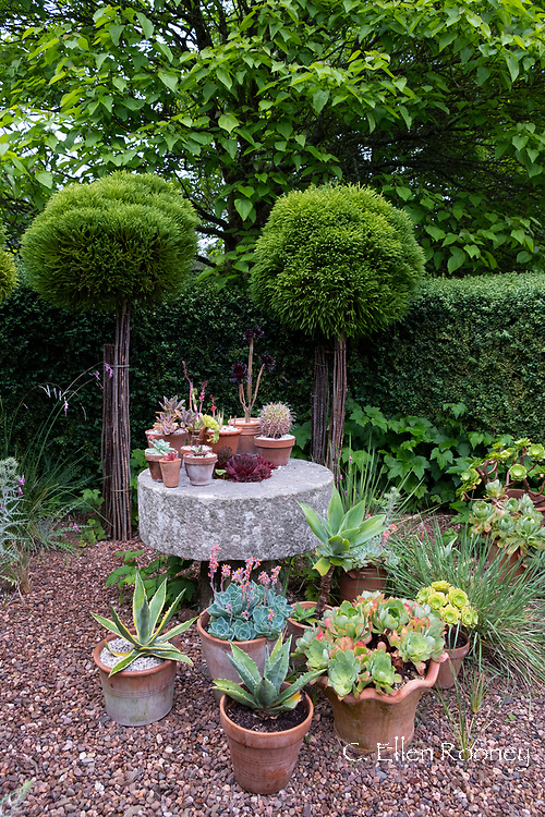 A variety of succulents in containers at Cothay Manor, Greenham, Wellington, Somerset, UK
