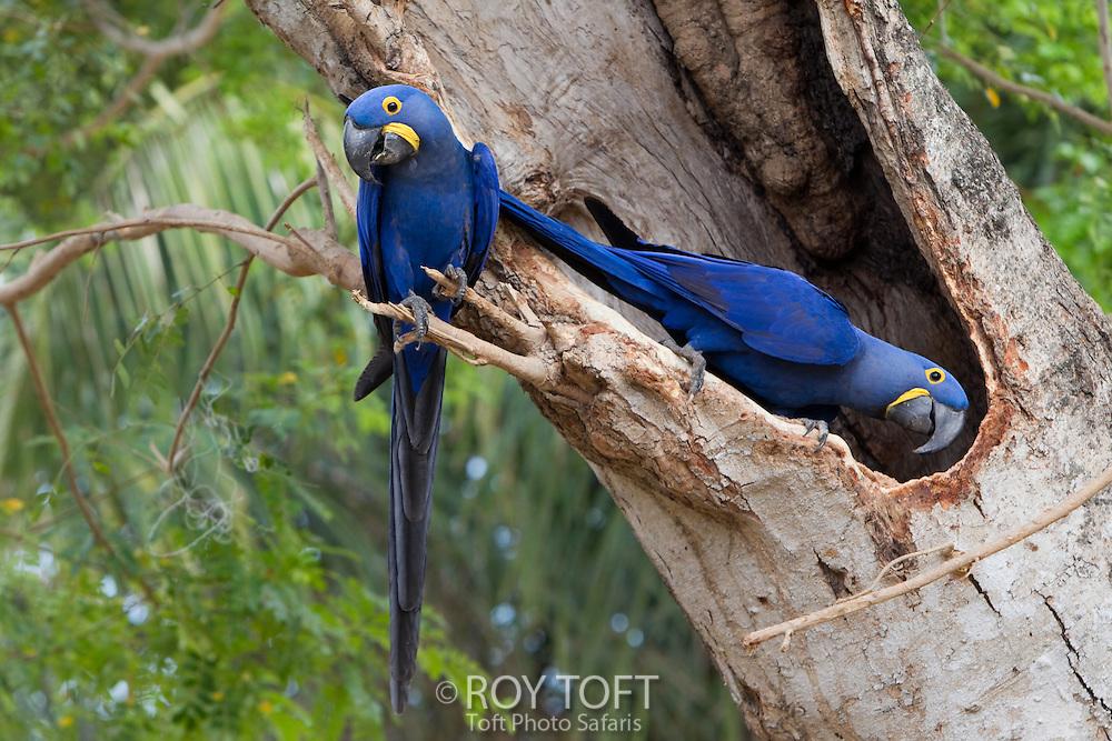Hyacinthine Macaw (Anodorhynchus hyacinthinus), Mato Grosso, Pantanal, Brazil