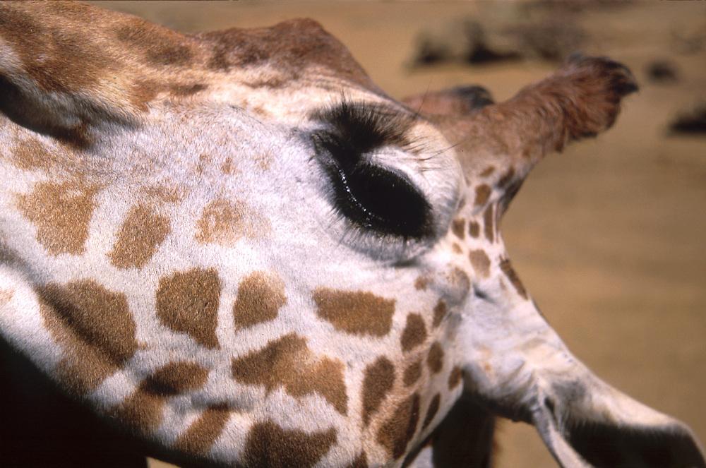 Giraffe face, close up, Oakland zoo. 1999
