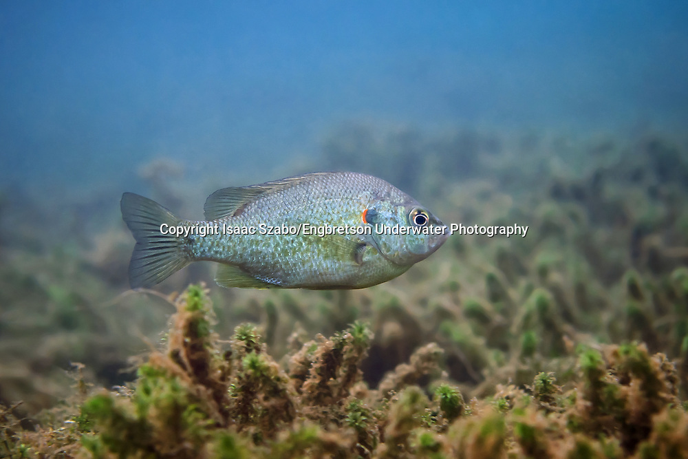 Redear Sunfish<br /> <br /> Isaac Szabo/Engbretson Underwater Photography
