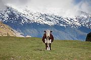Cow at the Matukituki Valley