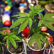 Washington, DC - AUG20: A marijuana plant on display at the B.U.D. Summit, the Business, Understanding, & Development Summit, August 20, 2016. The BUD Summit is poised to capture and accelerate the explosion of cannabis culture, business, and investment that has occurred in Washington, D.C. since the passing of initiative 71 in 2015. Photo by Evelyn Hockstein