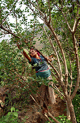 """RUKUM DISTRICT, NEPAL, APRIL 19, 2004:  Dilmaya, 23 years-old picks berries in Gipu village in Rukum District April 19, 2004. Her husband, a former Communist Party member has been missing since he was kidnapped 13 days earlier  because he quit the Party.  Analysts and diplomats estimate there about 15,000-20,000 hard-core Maoist fighters, including many women, backed by 50,000 """"militia"""".  In their remote strongholds, they collect taxes and have set up civil administrations, and people's courts. They also raise money by taxing villagers and foreign trekkers.  They are tough in Nepal's rugged terrain, full of thick forests and deep ravines and the 150,000 government soldiers are not enough to combat this growing movement that models itself after the Shining Path of Peru. (Ami Vitale/Getty Images)"""