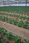 Organic pepper farm. Peppers are cultivated insdie a hothouse to keep them moist and cool. Photographed at Paran in the Aravah desert, Israel