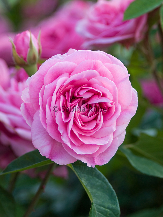 Rosa 'Gertrude Jekyll' - shrub rose - English Rose by David Austin