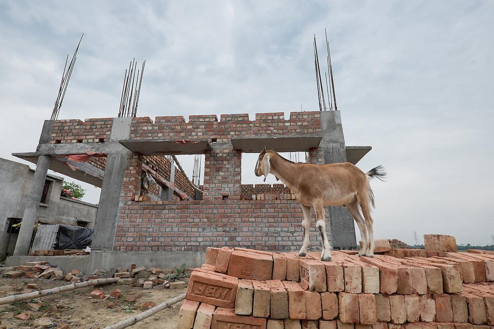 Goat stands next to new school structure of Ananda Siksha Niketan ( home of joyful learning ), Bhabta, Murshidabad, West Bengal, India, on April 12, 2015.<br /> Photo by Oren Nahshon