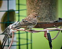 House Finch. Image taken with a Nikon D5 camera and 600 mm f/4 VR telephoto lens (ISO 1600, 600 mm, f/5.6, 1/250 sec).