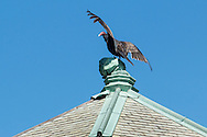 Monroe, New York - A turkey vulture perches on top of an  abandoned building at Gonzaga Park on April 25, 2015.