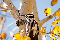 A Hairy Woodpecker inspects an aspen tree for any insects that might be on the tree trunk or in the bark of the tree.