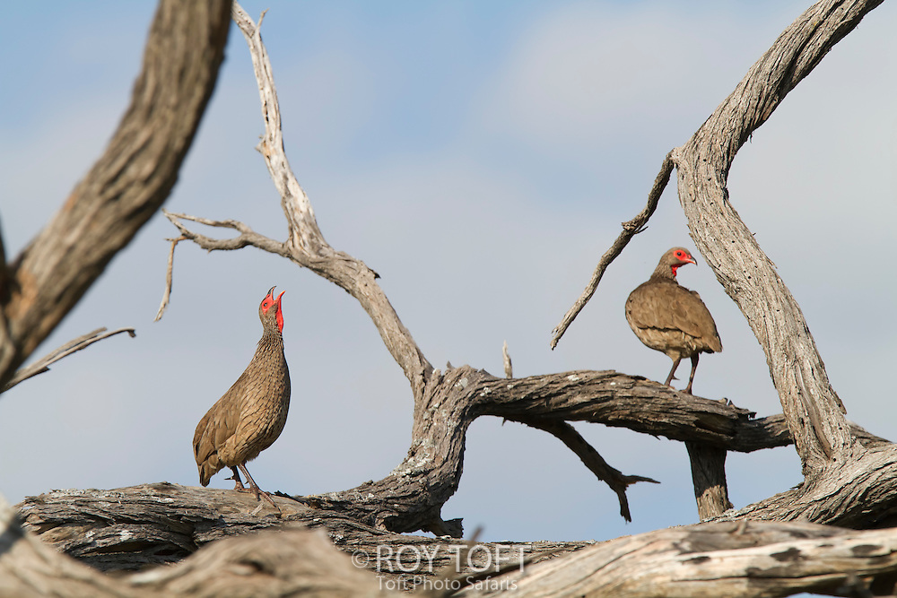 A pair of Swainson's francolin, Botswana, Africa