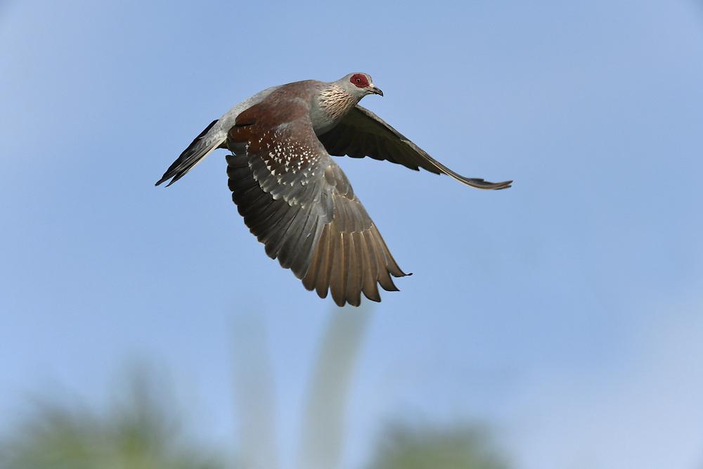 Speckled Pigeon - Columba guinea