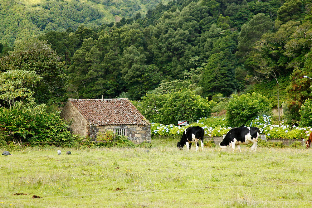 Europe, Portugal, Azores. Cows on Farm in the Azores.