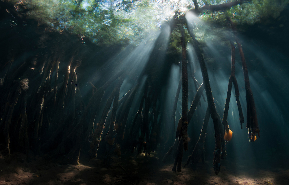 Mangrove roots underwater with sunlight pouring in.