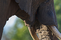 Mouth of an African Elephant, Gondwana Game Reserve, Western Province, South Africa