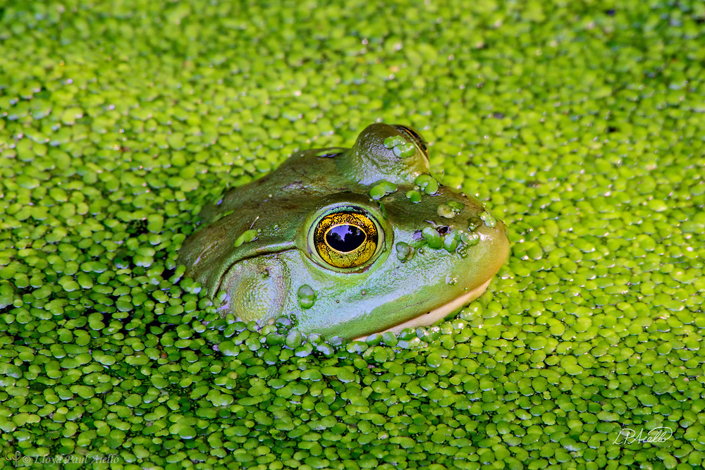 This American Bullfrog (Rana catesbeiana) is hiding in a small pond completely covered in Duckweed (Lemnaceae).  The bullfrog is native to eastern North America with a natural range from the Atlantic Coast to as far west as Oklahoma and Kansas.  However, it has been introduced elsewhere where it is considered an invasive species, including Arizona, Utah, Colorado, Nebraska, Nevada, California, Oregon, Washington, Hawaii, Mexico, Canada, Cuba, Jamaica, Italy, Netherlands, France, Argentina, Brazil, Uruguay, Venezuela, Colombia, China, South Korea and Japan.  In some areas, the bullfrog is used as a food source.  <br /> <br /> Bullfrogs are voracious, ambush predators that eat any small animal they can stuff down their throats. Bullfrog stomachs have been found to contain rodents, reptiles, amphibians, crayfish, birds, bats, fish, tadpoles, snails and their usual food &ndash; insects.  Bullfrogs are able to jump a distance 10x their body length.  The female lays up to 20,000 eggs at a time that form a thin, floating sheet which may cover an area of 0.5 -1 m2 (5.4 - 10.8 sq ft). The embryos hatch in 3 - 5 days. Time to metamorphize into an adult frog ranges from a few months in the southern part of their range to 3 years in the north where the colder water slows development.  Maximum lifespan in the wild is 8 - 10 years, but one bullfrog lived for almost 16 years in captivity.<br /> <br /> Duckweed (Lemnoideae) are small flowering aquatic plants which float on or just beneath the surface of still or slow-moving bodies of fresh water. These plants lack obvious stems or leaves, and depending on the species, each plant may have no root or one or more simple rootlets.  Reproduction is mostly by asexual budding, however, occasionally three tiny flowers are produced for sexual reproduction.  The flower of the duckweed measures a mere 0.3 mm (1/100th of an inch) long.