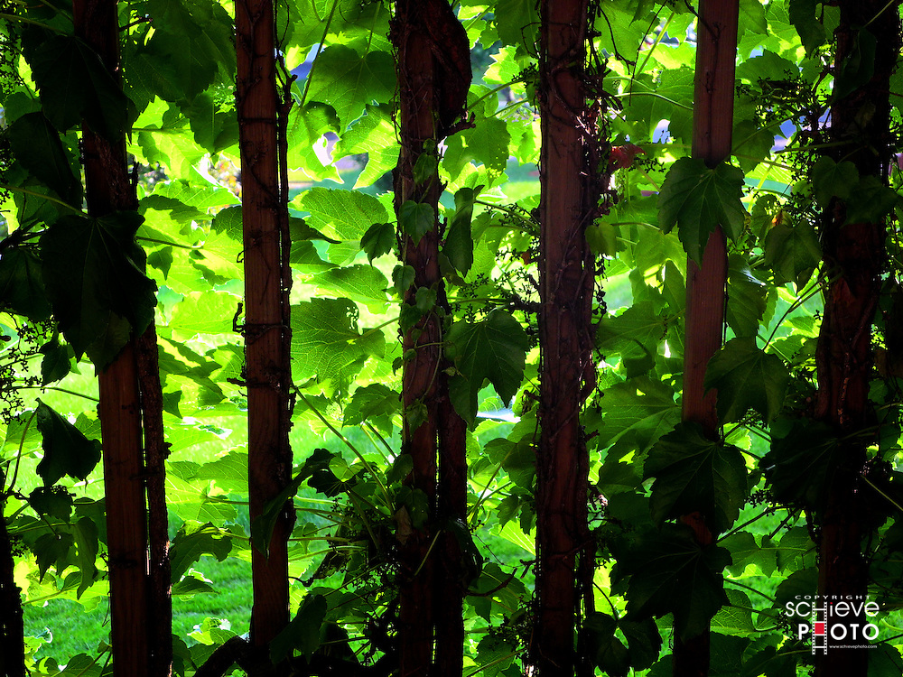 Back-lit ivy vines on the deck.