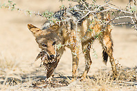 Black-backed Jackal feeding on a sandgrouse, Kgalagadi Tranfrontier Park, Northern Cape, South Africa