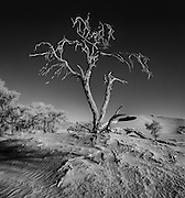 The Camel Thorn (acacia erioloba) is a survivor. They can survive in the pan areas surrounding the dune regions in the Namib desert, one of the driest regions on earth. The tap roots can be as long as the tree is tall. This tree probably died due a shift or cessation in the flow of an underground river bed