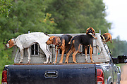 Bear hounds test the air from the back of a pick-up in northern Wisconsin