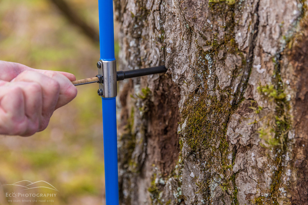 Taking a core sample from a black gum tree (tupelo), Nyssa sylvatica. The core will be examined under a microscope to estimate the age of the tree. Barrington, New Hampshire.