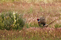 A Ring Necked Pheasant displays for a hen pheasant that is close by it is mating season for this upland bird.