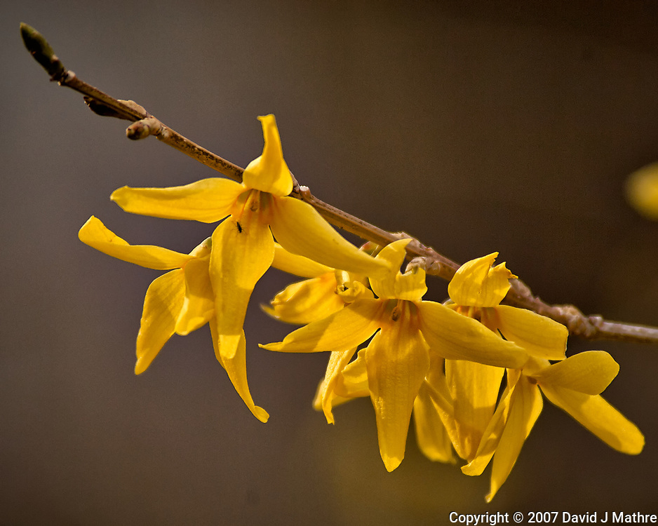 Forsythia blooms. Early spring nature in New Jersey. Image taken with a Nikon D2xs camera and 80-400 mm VR lens (ISO 200, 400 mm, f/5.6, 1/500 sec).