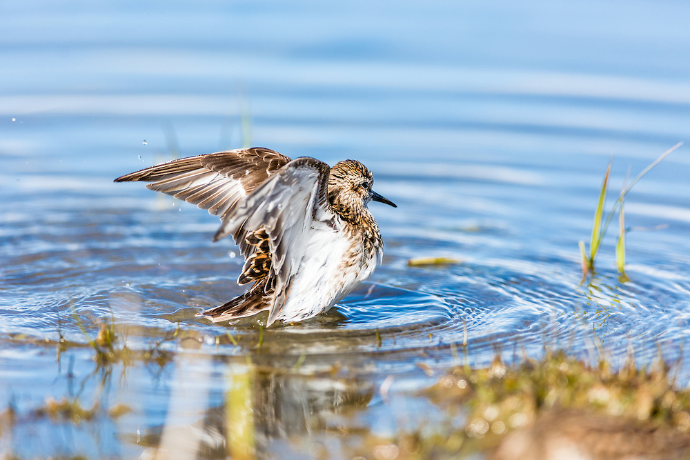 Least Sandpiper (Calidris minutilla) preening on the tidal flats of Hartney Bay near Cordova in Southcentral Alaska. Spring. Afternoon.