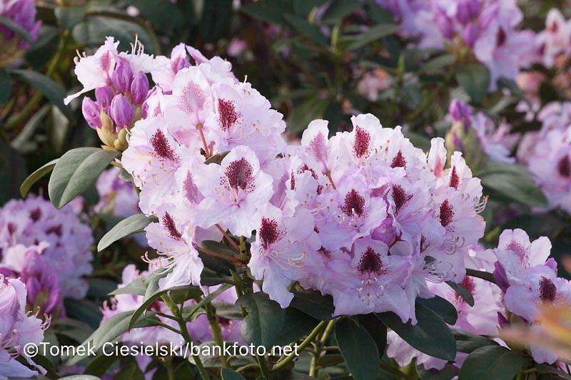 Rhododendron `Hymboldt`