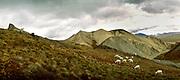 Dall sheep, Denali Naitonal Park, Alaska