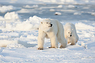 01874-12217 Polar Bear (Ursus maritimus) mother and cub near Hudson Bay  in Churchill Wildlife Management Area, Churchill, MB Canada