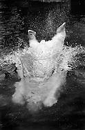 Deutschland, DEU, Berlin, 2000: Eisbär (Ursus maritimus) beim Sprung ins Wasser, Zoo Berlin.   Germany, DEU, Berlin, 2000: Polar bear, Ursus maritimus, in jump, diving into the water, Zoo Berlin.  