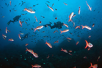 Divers cruise through a school of feeding Creolefish.<br /> <br /> <br /> Shot at Cocos Island, Costa Rica