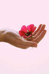 Woman's Hand Holding Pink Flower