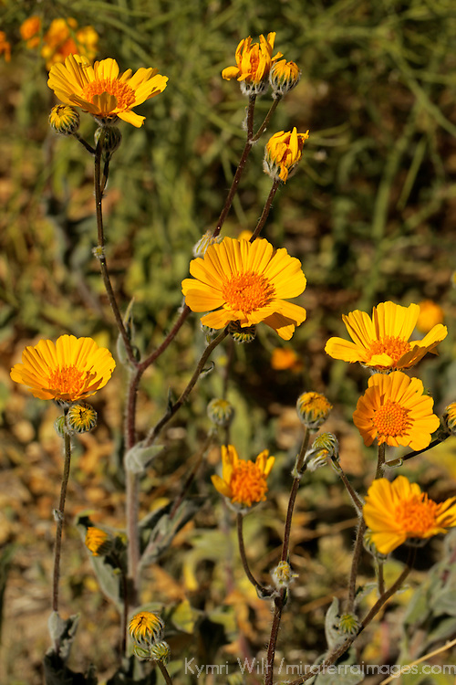 USA, California, San Diego County. Desert Wildflowers of Anza-Borrego.