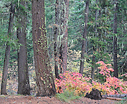 Autumn Vine Maples Among Ponderosa Pine