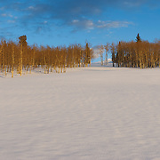 An aspen grove at sunset with alternating lines of hills of snow that have been blasted with winter winds. Cordillera, Colorado.