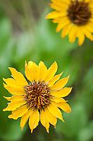 Closeup of Balsamroot flowers.