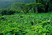 Image of tropical trees and foliage near Pali Highway, Oahu, Hawaii, America West