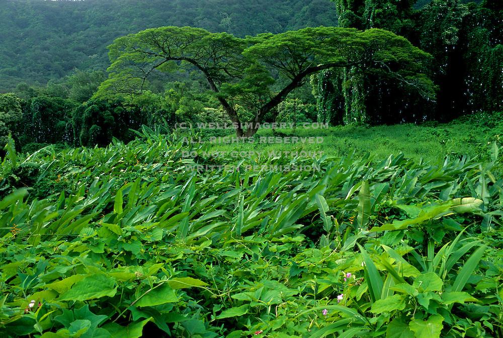Image of tropical trees and foliage near Pali Highway, Oahu, Hawaii, America West