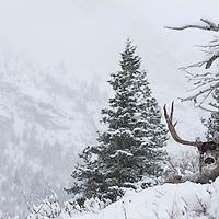 huge trophy shooter muledeer buck bedded deep snow habitat winter evergreen trees
